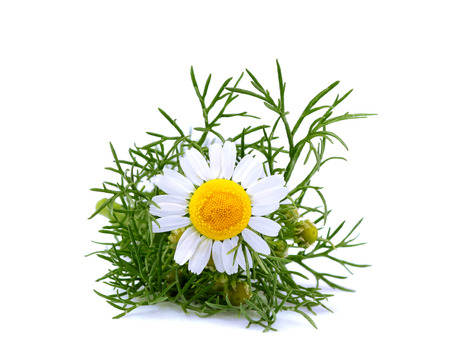 Matricaria chamomilla.Chamomile medicinal isolated on white background.