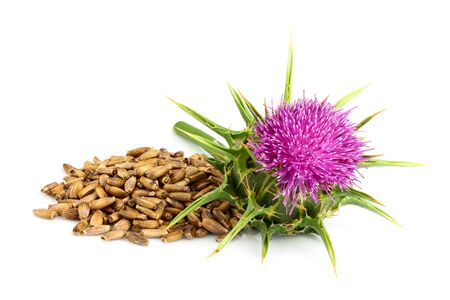 Seeds of a milk thistle with flowers Silybum marianum; Scotch Thistle; Marian thistle. Medicinal herb.