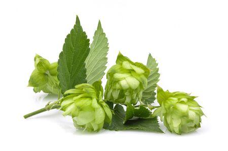 Hop plants twig isolated on white background. Stock Photo