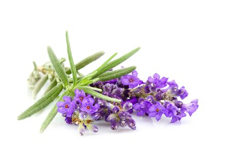 Lavender plant with isolated leaves on white background.