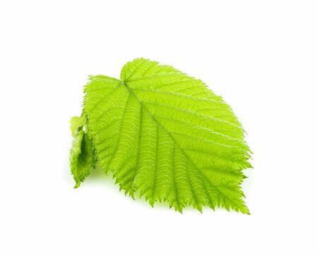 Fresh leaf hazelnut  isolated closeup on white background.