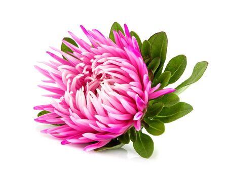 Aster flower isolated on white background with clipping path.