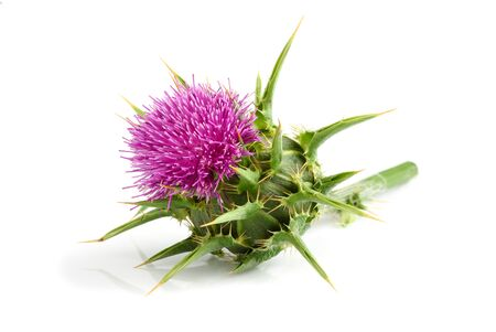 Milk thistle (Silybum marianum) isolated on white background.