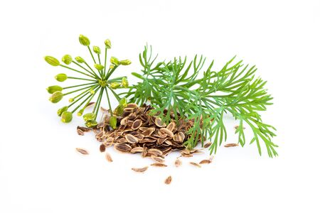 Fennel plant and dill with seeds isolated on white background. Stock Photo