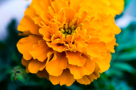 tagetes: Close up of a Marigold (Tagetes) flower with some rain drops