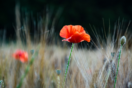 Close up of a poppy flower in a field of wheat Stock Photo