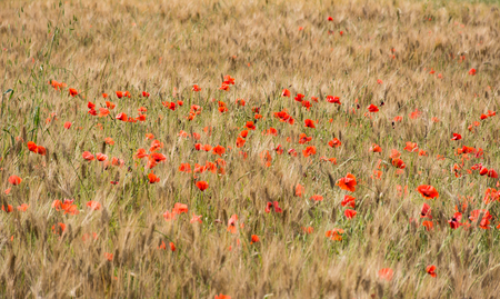 Field of wheat with some poppies