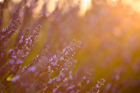 plateau of flowers: Close up of a lavender flower at sunset light in Provence
