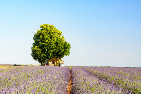 lavande: A field of lavender near Valensole, with an abandoned house and a tree in background Stock Photo