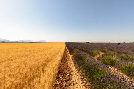 encountered: A field of wheat and lavender are encountered along a plot in Provence