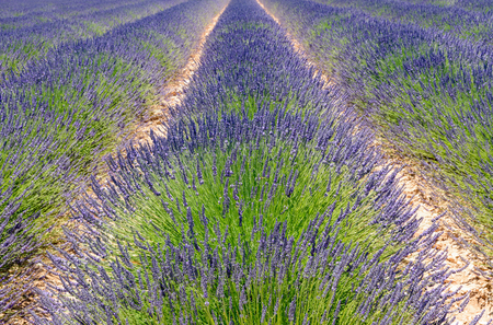 plateau of flowers: A cultivated field of blooming lavender near Valensole in France