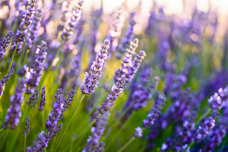 plateau of flowers: Close up of a lavender flower