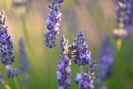 plateau of flowers: Close up of a bee on a lavender flower in a filed in Provence