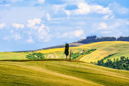 Tree and yellow hills in a tuscany summer landscape Stock Photo