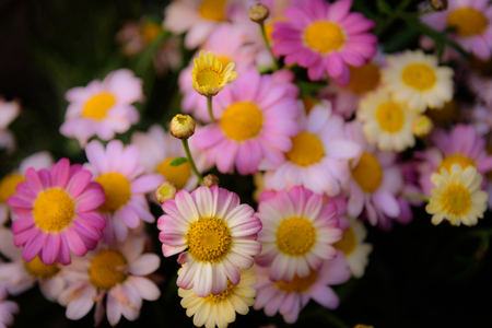 daises: Close up of colorful daises