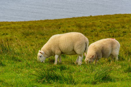 Sheeps graze in a field of the Isle of Scotland, UK