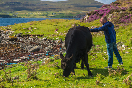 ISLE OF SKYE, SCOTLAND - AUGUST 12, 2017 - A man caress a black cow  in a meadow of the Isle of Skye.
