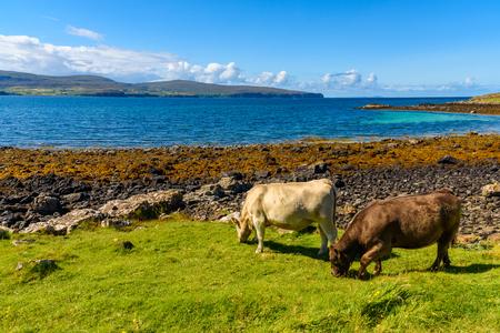 스코틀랜드 아일 오브 스카이 (Scotland)에있는 산호 해변에서 흰 암소가없는 범위 스톡 콘텐츠