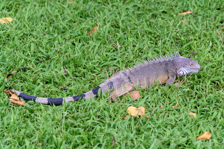Iguana isolated on the grass Фото со стока