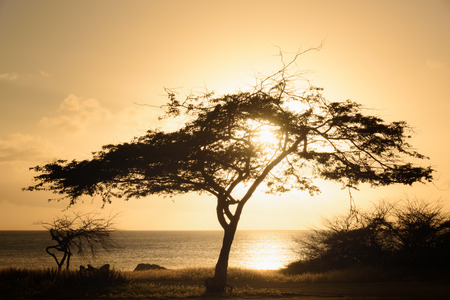 Silhouette of a Divi Tree at sunset in Aruba Stock Photo