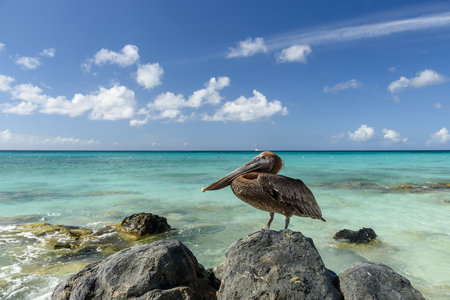 Close up of a Pelican on a cliff in a caribbean beach of Aruba