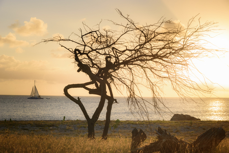 Silhouette of a Divi Tree at sunset in Aruba Stock Photo - 108336189