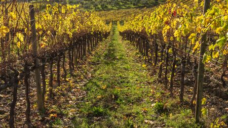 Scenic view of chianti Vineyards in autumn near the small and famous town of Radda in Chianti Banco de Imagens