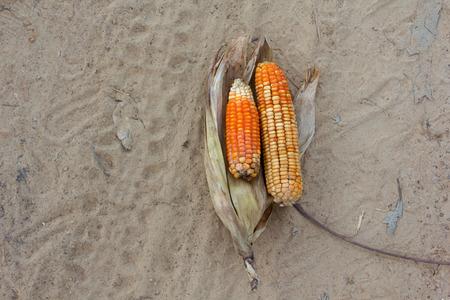 fungal disease: Corn is a fungal disease.