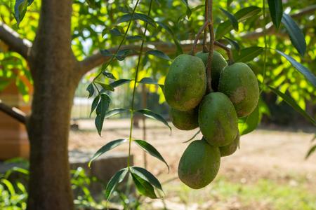 Fresh Hog Plum Growing On A TreeOtaheite Apple Rings Stock Photo