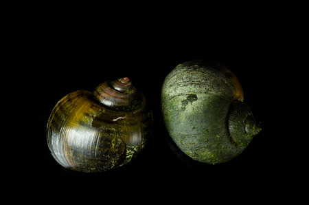 Golden Apple Snail. On a black background, the enemies in rice fields.