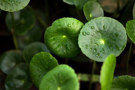 Hartvorm van groene Asiatische Pennywort (Centella asiatica), gezond eten tegen hout. Stockfoto