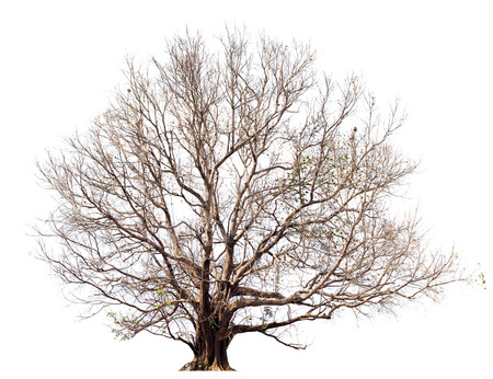 Dry tree without large leaves,Bodhi Tree on white.Tree isolated botanical Tree.