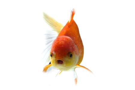 fish tail: Goldfish on a white backdrop Stock Photo
