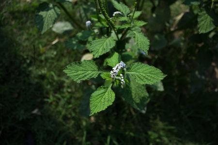 Alacransillo, Eye Bright, Indian Heliotrope, Indian Turnsole, Turnsole, Heliotropium indicum.