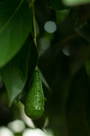 The avocados on the tree., Green leaves and bokeh light on the back. Stock Photo