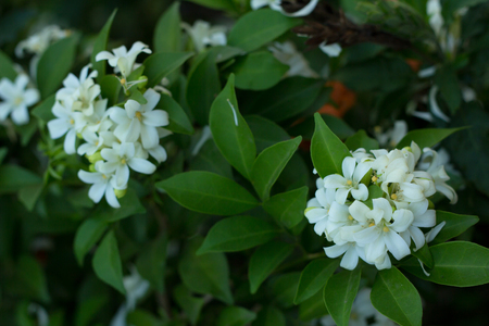 Philippine national flower is the gardenia flower glass or Sampaguita Jasmine flowers. Stock Photo
