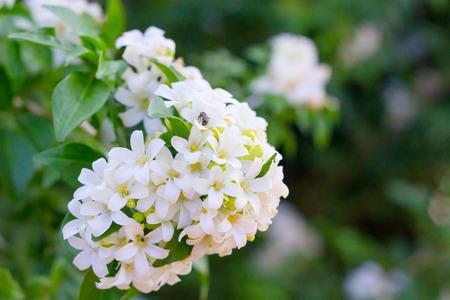 フィリピンの国花は、クチナシの花のガラスまたは Sampaguita ジャスミンの花です。