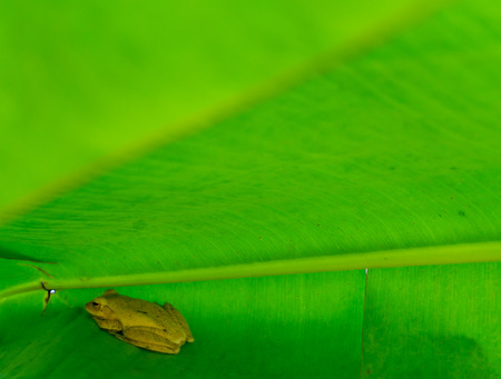 Frogs in the green banana leaves.