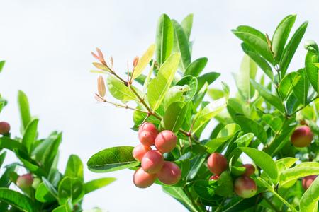 Carunda or Karonda,Fruit for health,You can meet them in central or southern of Thailand,Pink fruit.Carunda,Karonda . Zdjęcie Seryjne