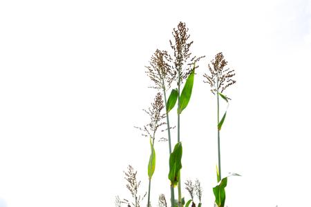 sorgo: Primer plano de un sorgo bicolor en blanco, granja.