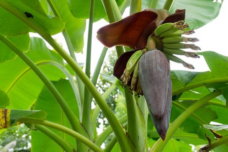 bunch of hearts: banana blossom On a banana tree. Stock Photo