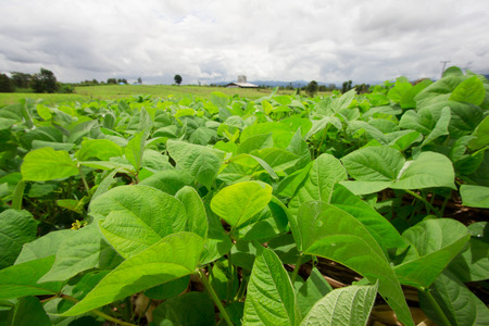 Mung bean cultivation in agriculture.
