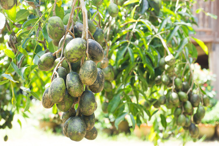 Elaeocarpus hygrophilus on tree,Fungal island. Stock Photo