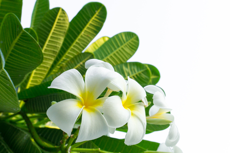 White plumeria flowers on the tree. Green leaves smelled fragrant in the evening. Stock Photo