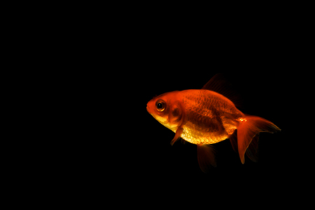 Goldfish in blue water focus eyes,I stand alone. Banco de Imagens