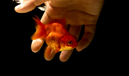 Catching a goldfish underwater with a bare hand,Catch goldfish by hand.