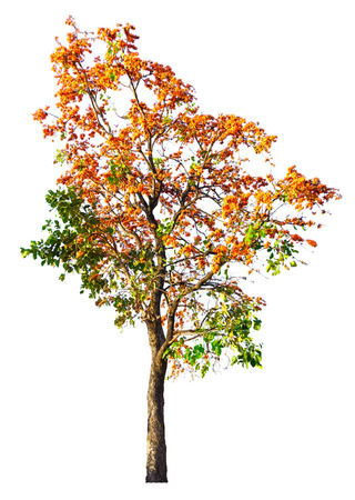 Orange flower tree isolated on white background with clipping path. Stock Photo