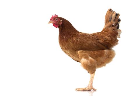 brown hen walking isolated on white, studio shot,chicken.