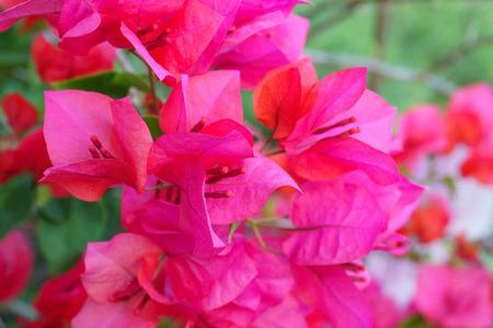 Closeup of bright red bougainvillea blossoms, Bougainvillea spectabilis.