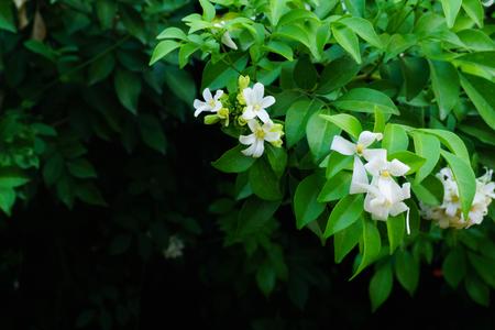 Philippine national flower is the gardenia flower glass or Sampaguita Jasmine flowers. Stock Photo